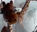Zsiráfok az uszodában