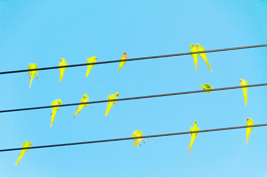 fecskék helyett - papagájok Tokióban